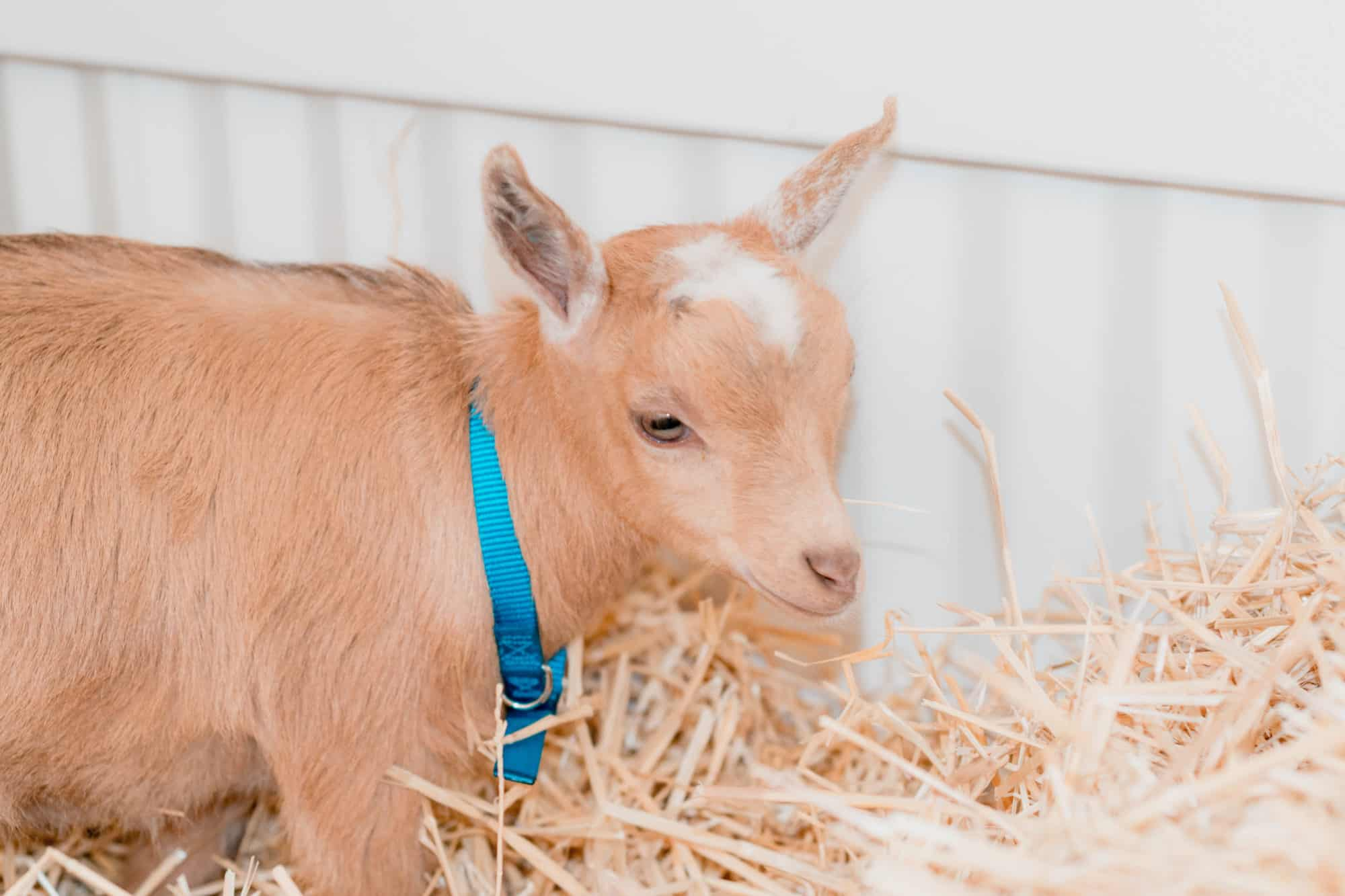 The Frenchie Farm baby goat