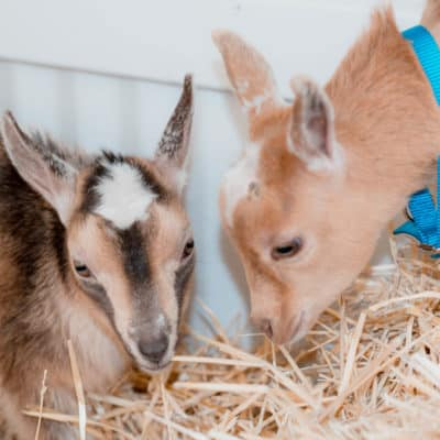 The Frenchie Farm: meet our baby goats