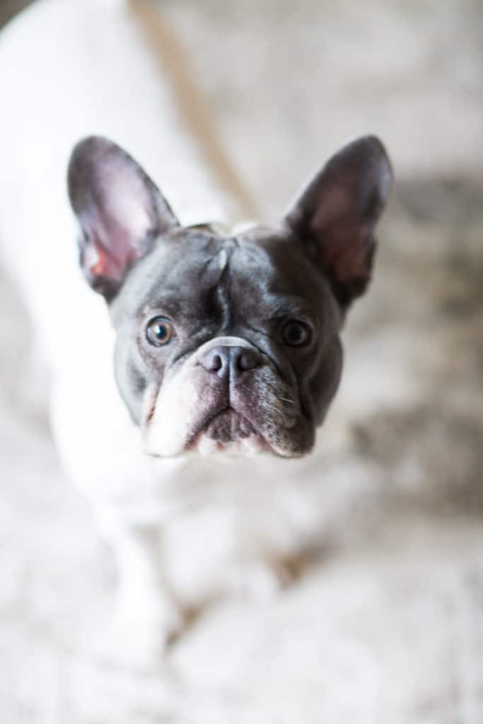 the Frenchie Farm blue french bulldog