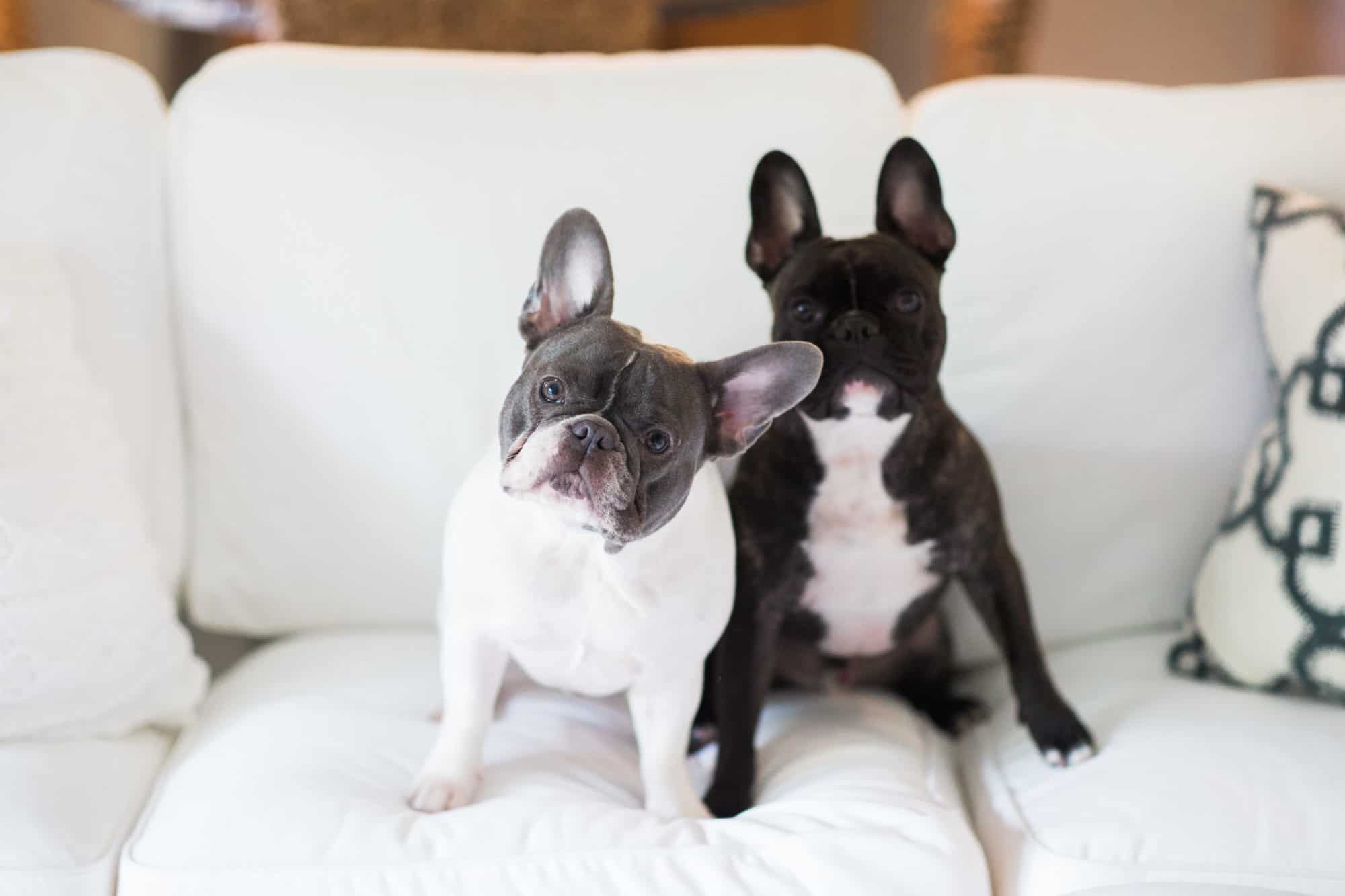 things to know before getting a french bulldog