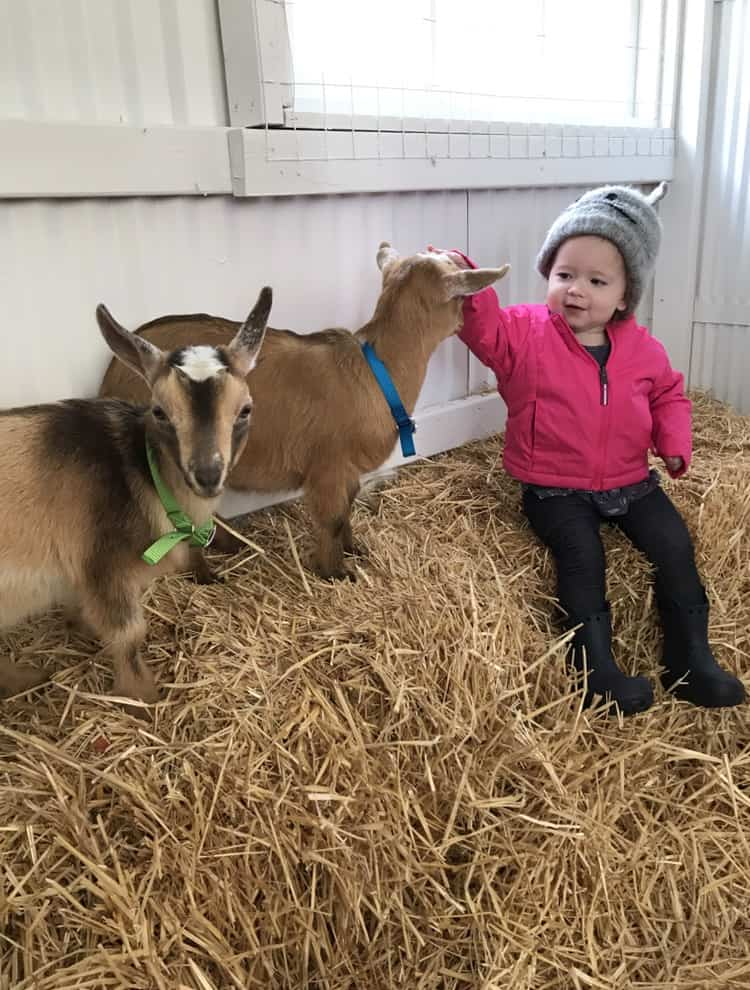 The Frenchie Farm toddler playing with baby goats