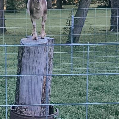 Escape artist goats on the backyard farm
