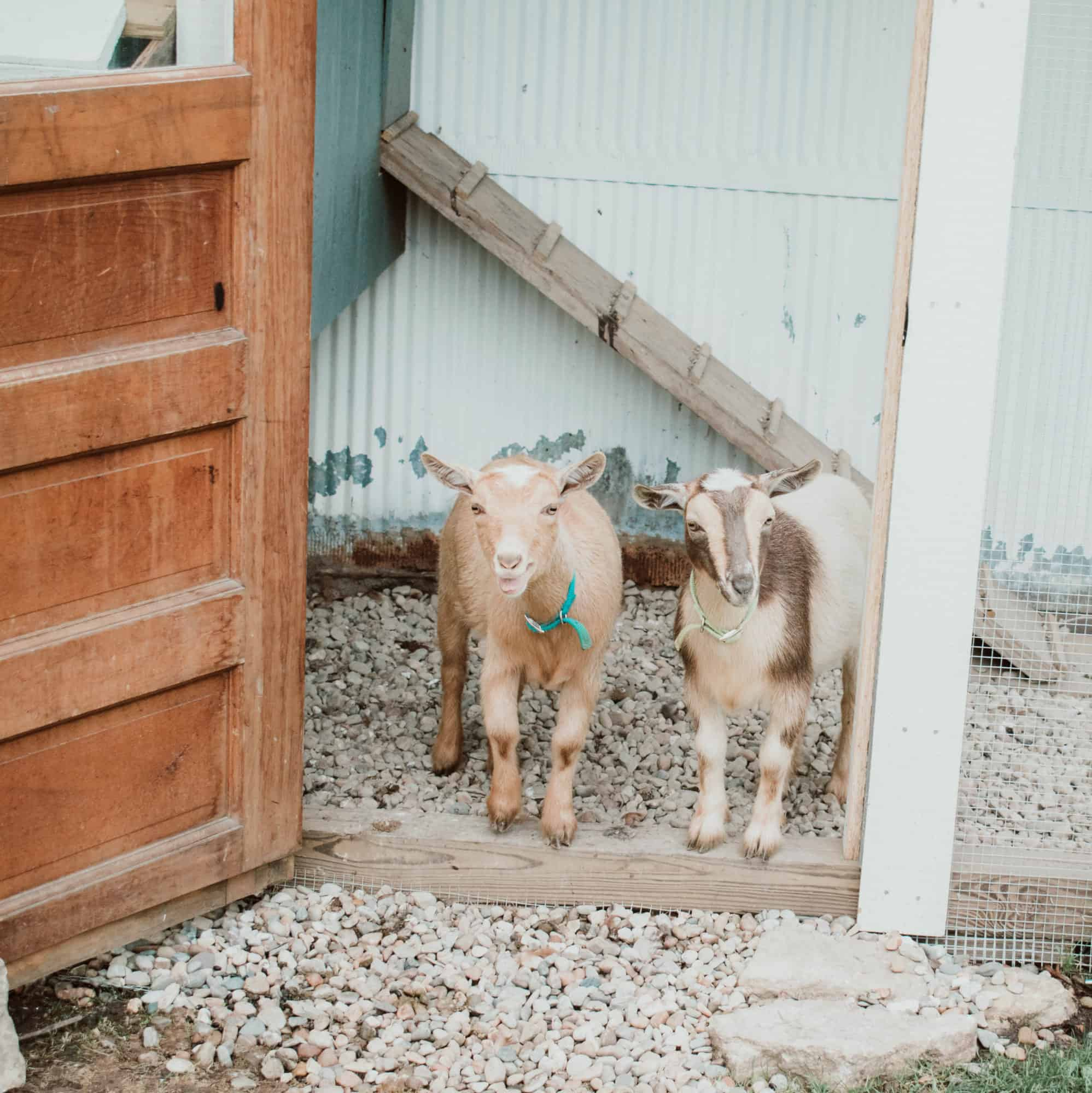Frenchie Farm: things to know before starting a homestead