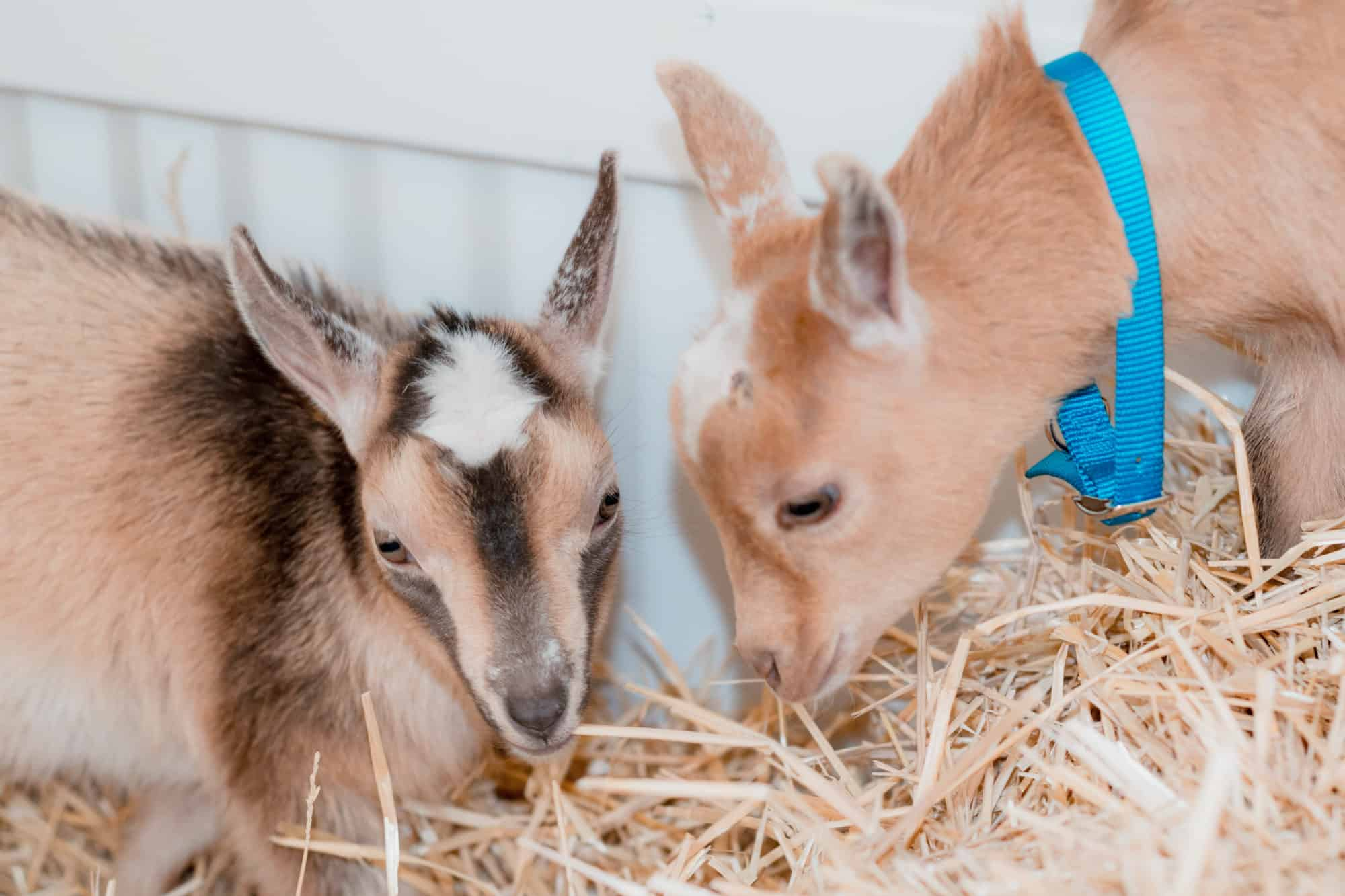 getting a pregnant goat