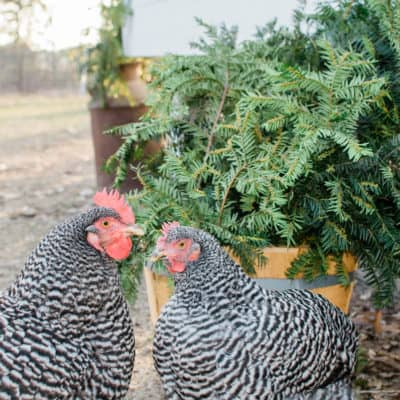 Chicken coop Christmas decorating ideas