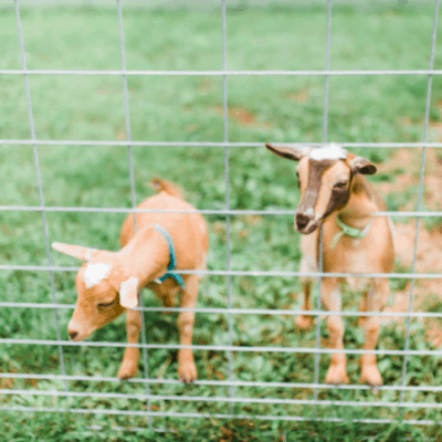 We're getting a PREGNANT goat!