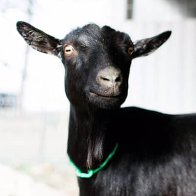 Introducing a goat into a new herd – welcoming Fran!