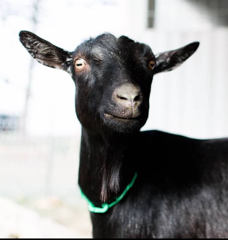 introducing a goat into a new herd Frenchie Farm blog