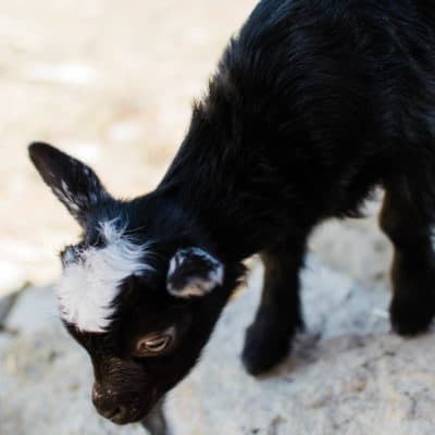 Goat labor and birth: introducing Edith and Marty!
