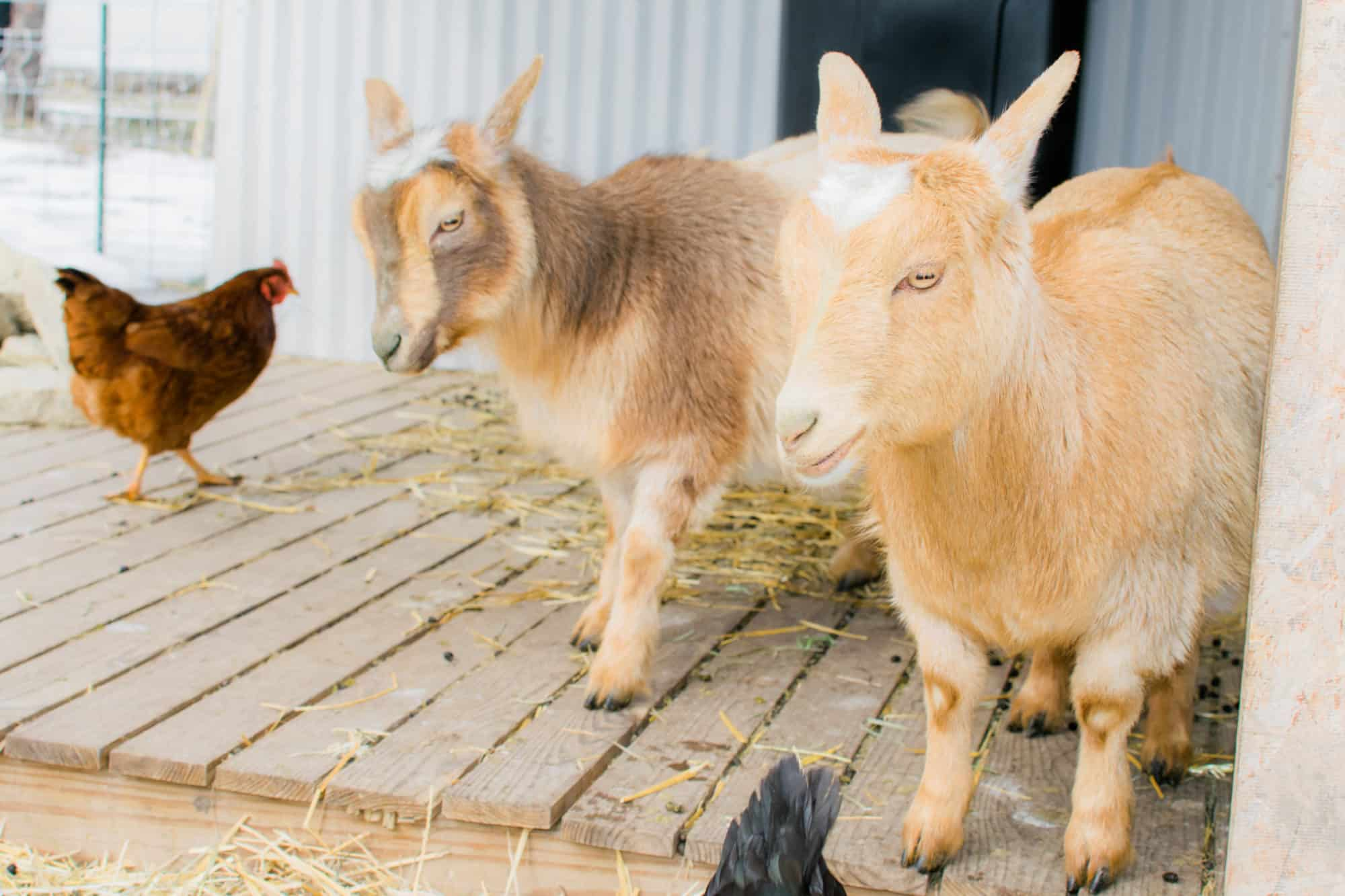 Frenchie Farm Goat kidding supplies & putting together a goat kidding kit