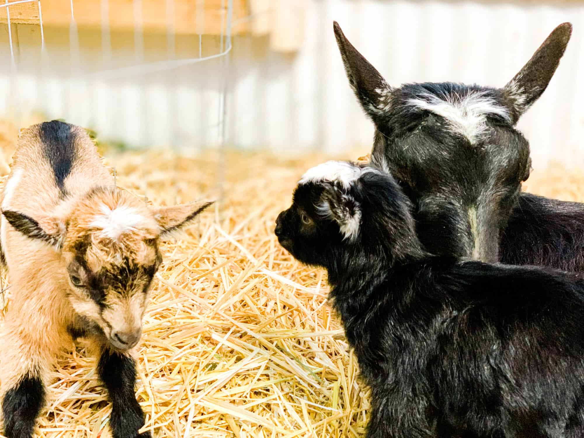 Frenchie Farm: goat labor and birth