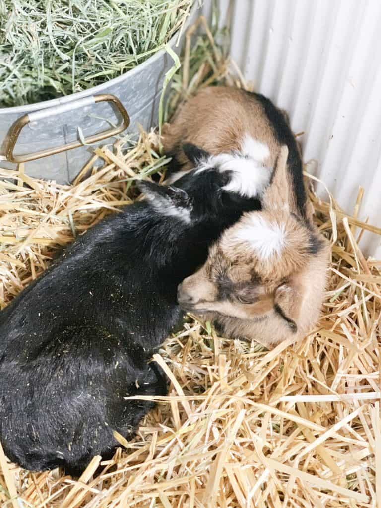 Frenchie Farm goat labor and birth