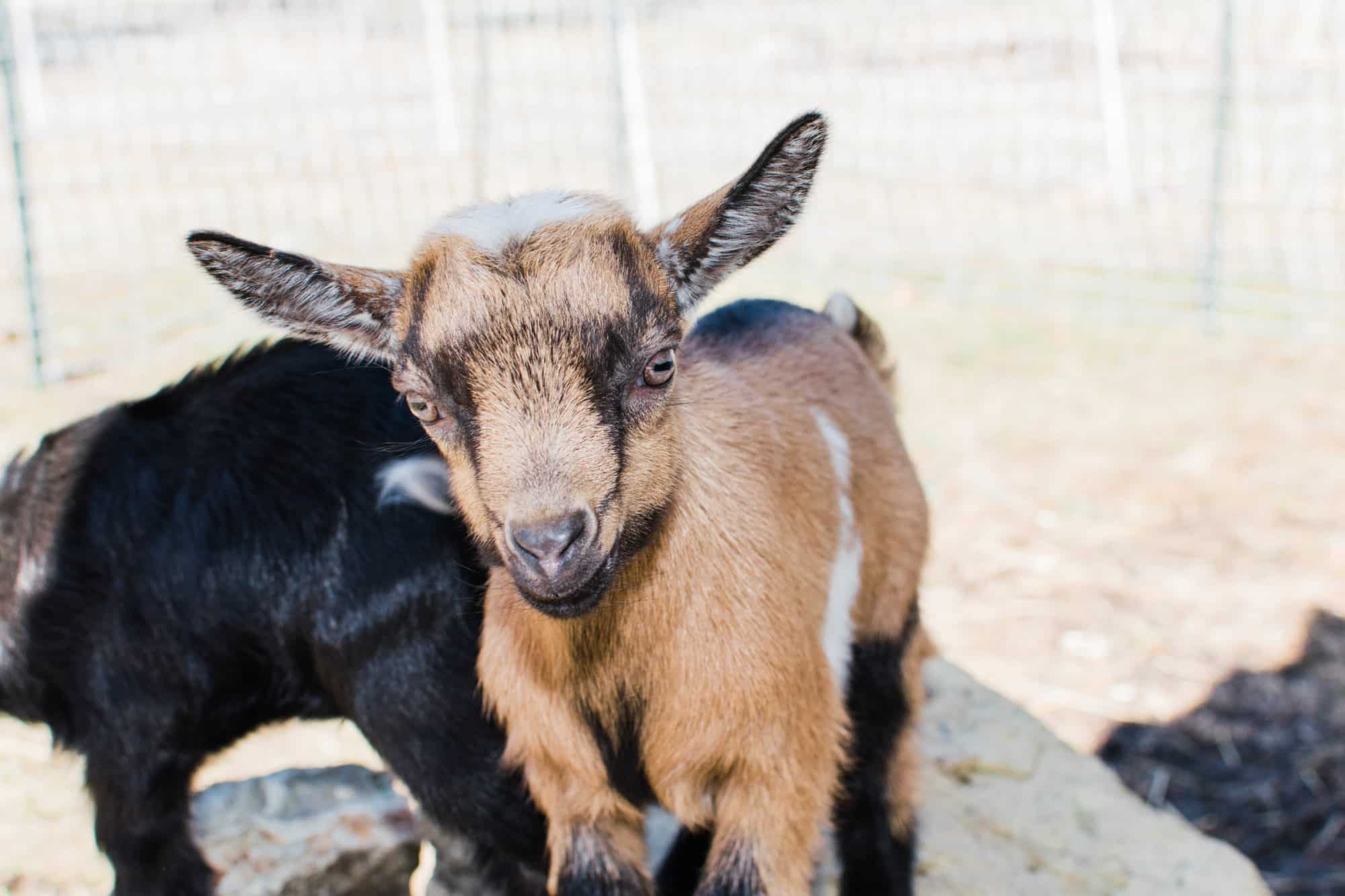 Frenchie Farm getting goat bucks not getting goat bucks
