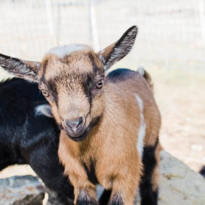 The big debate: getting goat bucks or not getting goat bucks