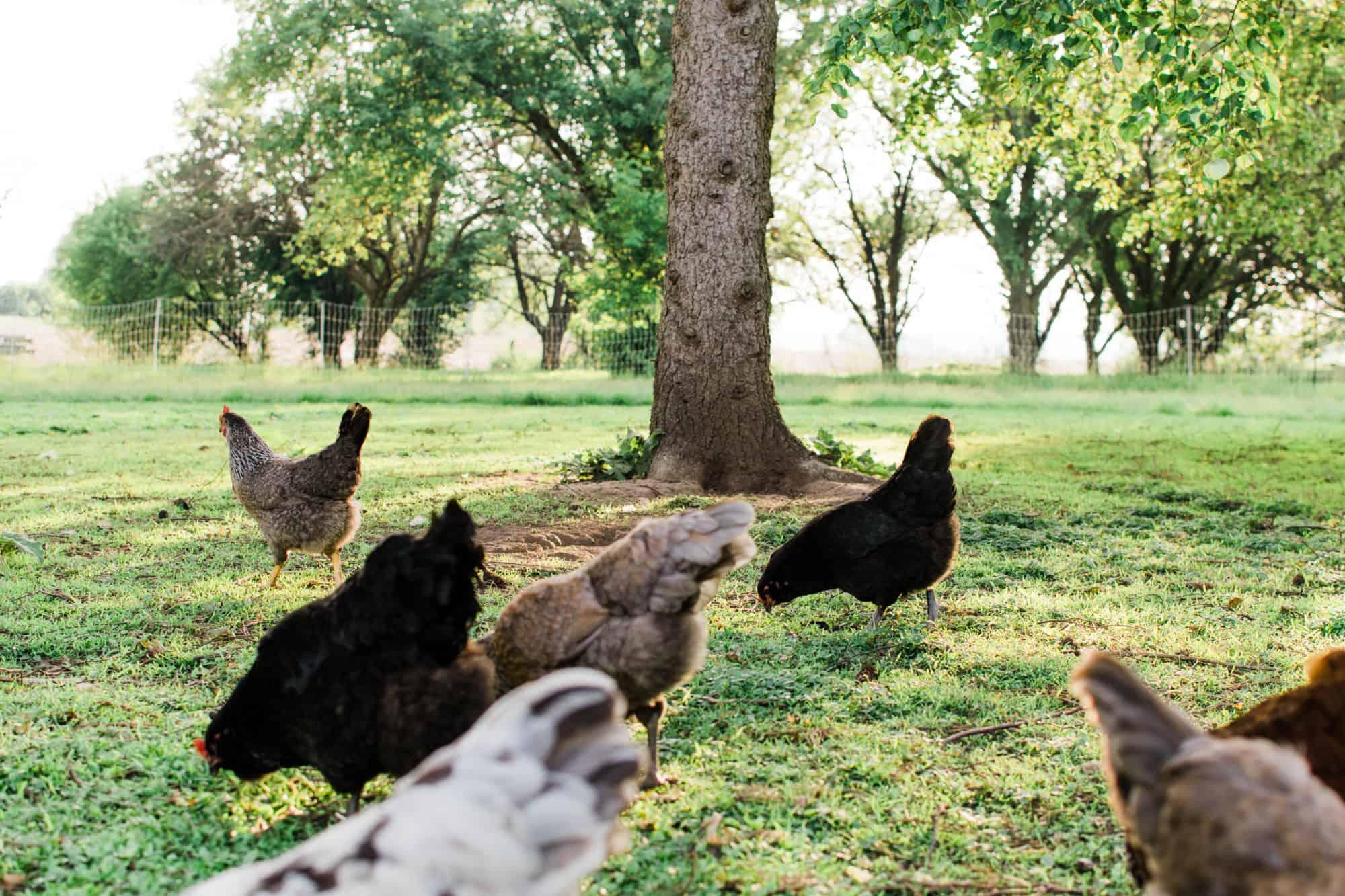 Frenchie Farm homesteading simple living