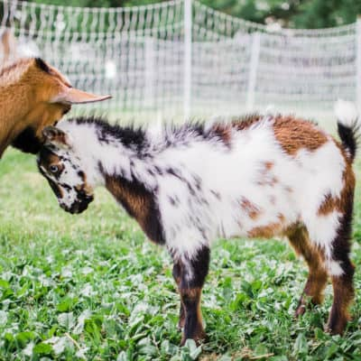 Tips for buying your first goat: Part 1
