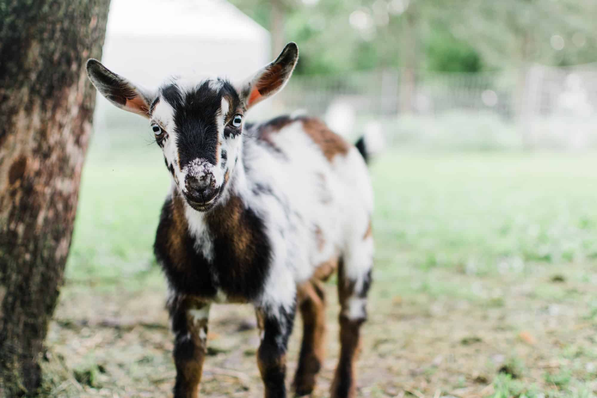 Frenchie Farm tips for buying your first goat