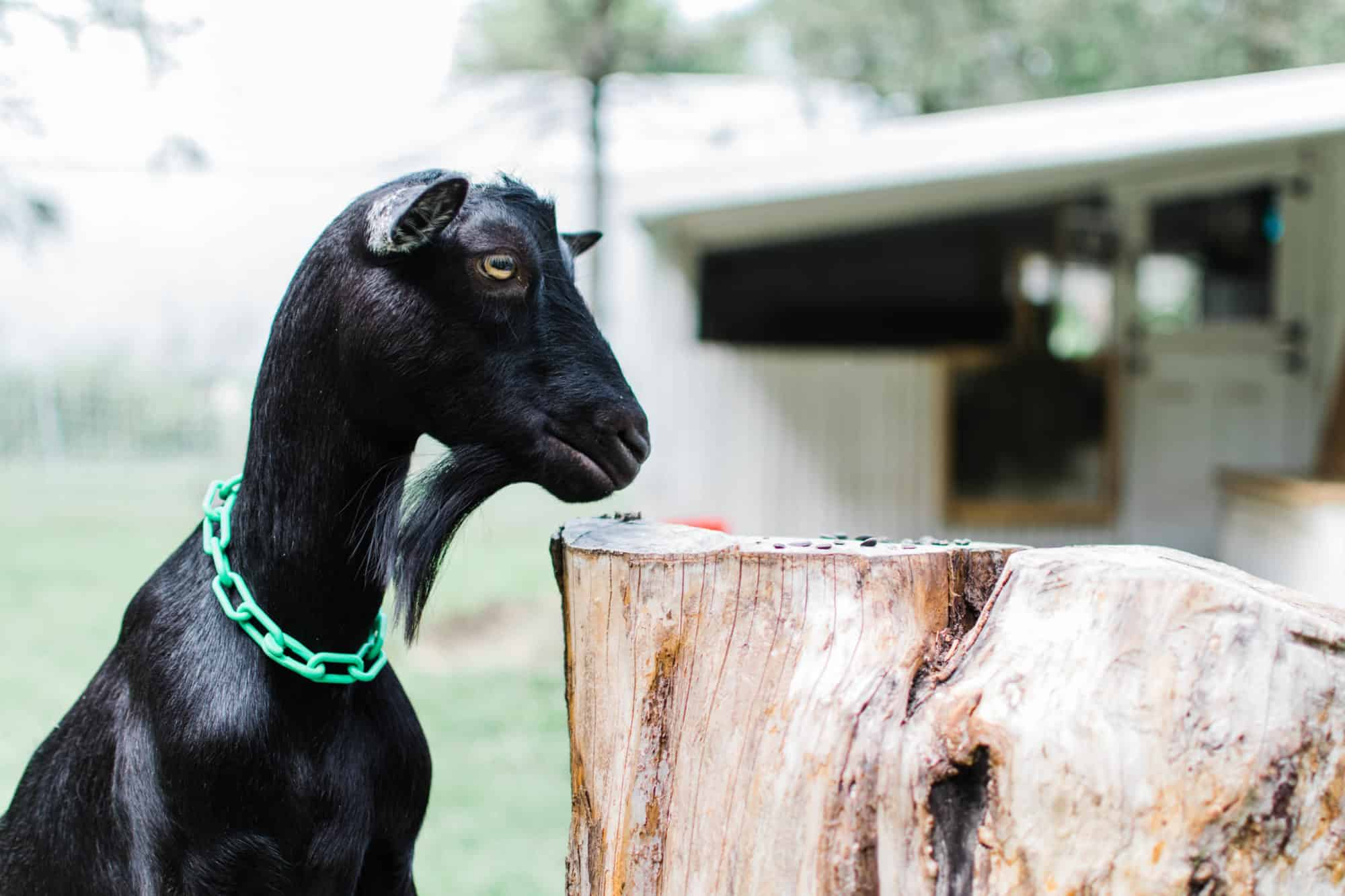 Frenchie Farm beginner tips for raising goats