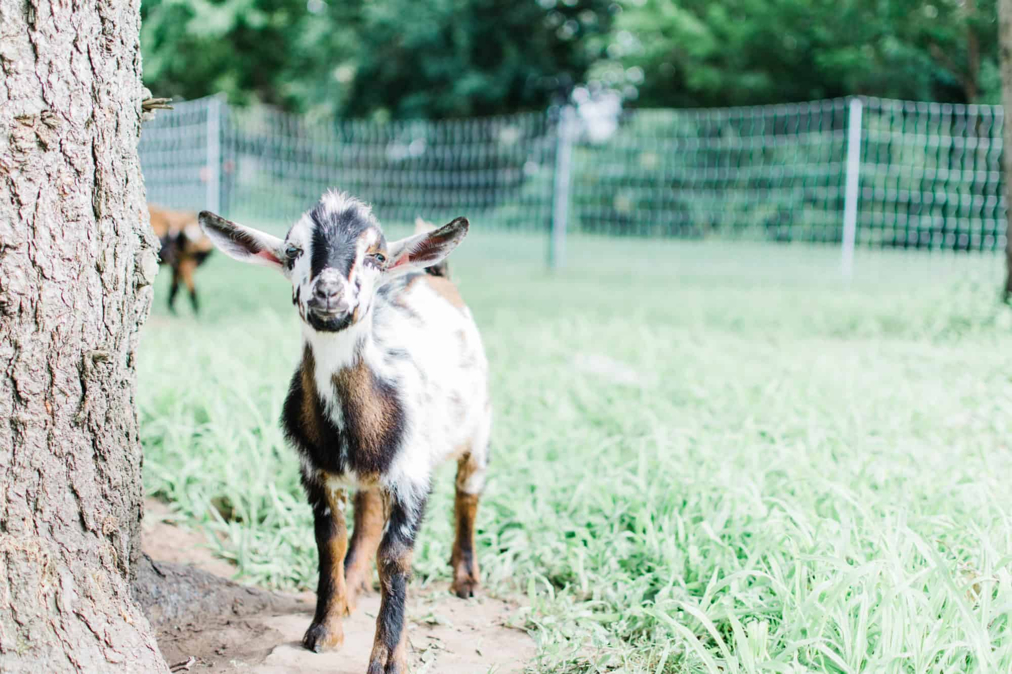 Frenchie Farm beginner tips for raising goats