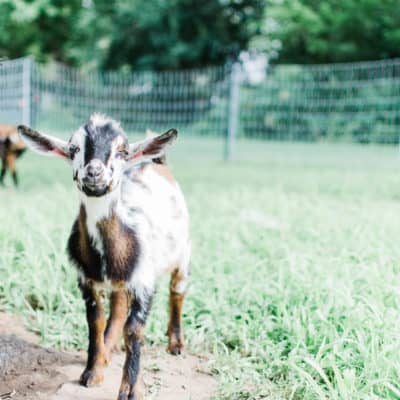 Beginner tips for raising goats: part 2