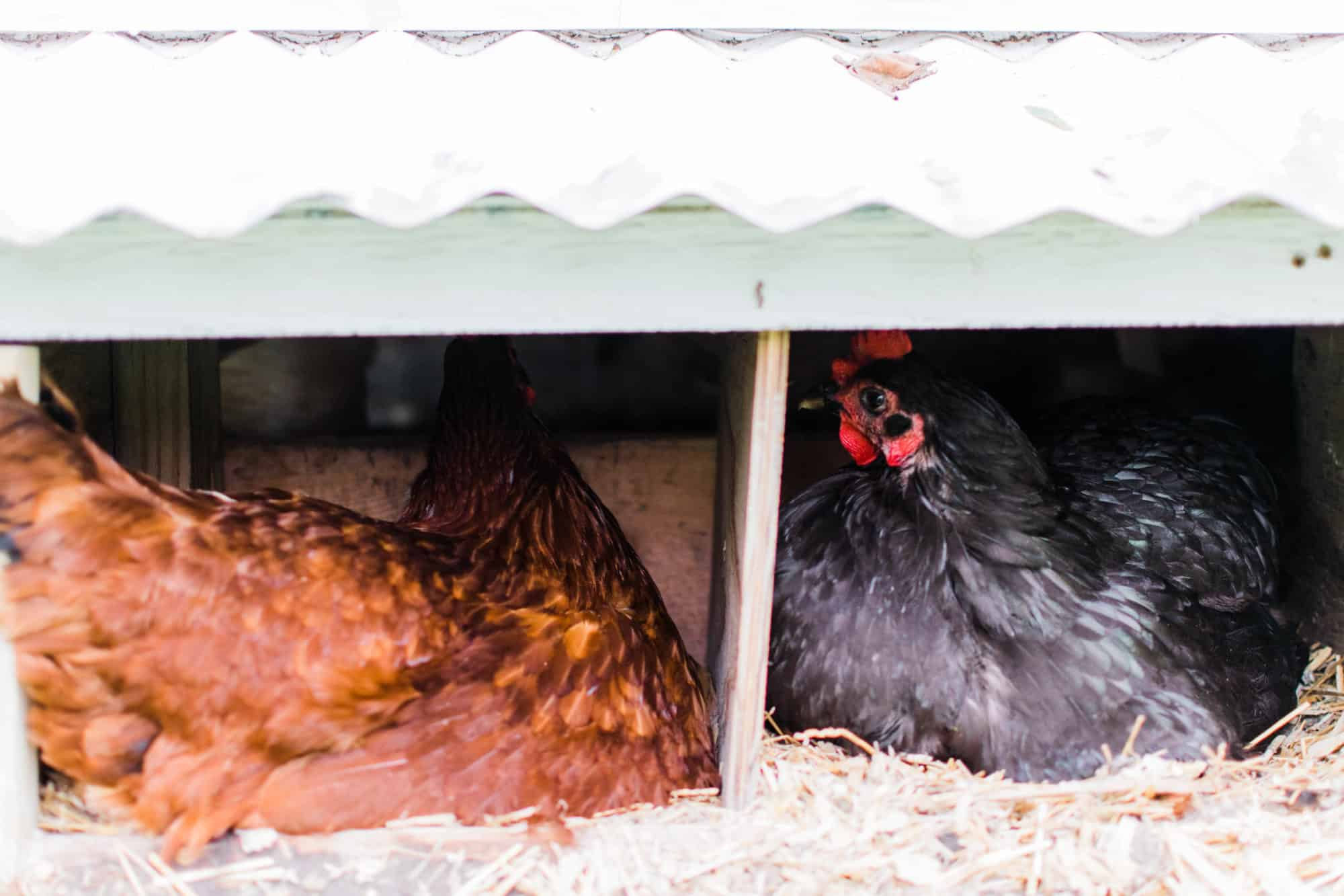 Frenchie Farm How to move with chickens & transport your flock