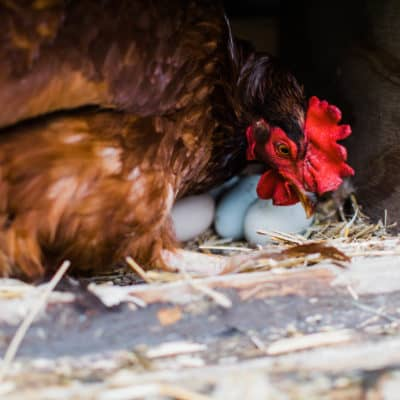 How to move with chickens & transport your flock