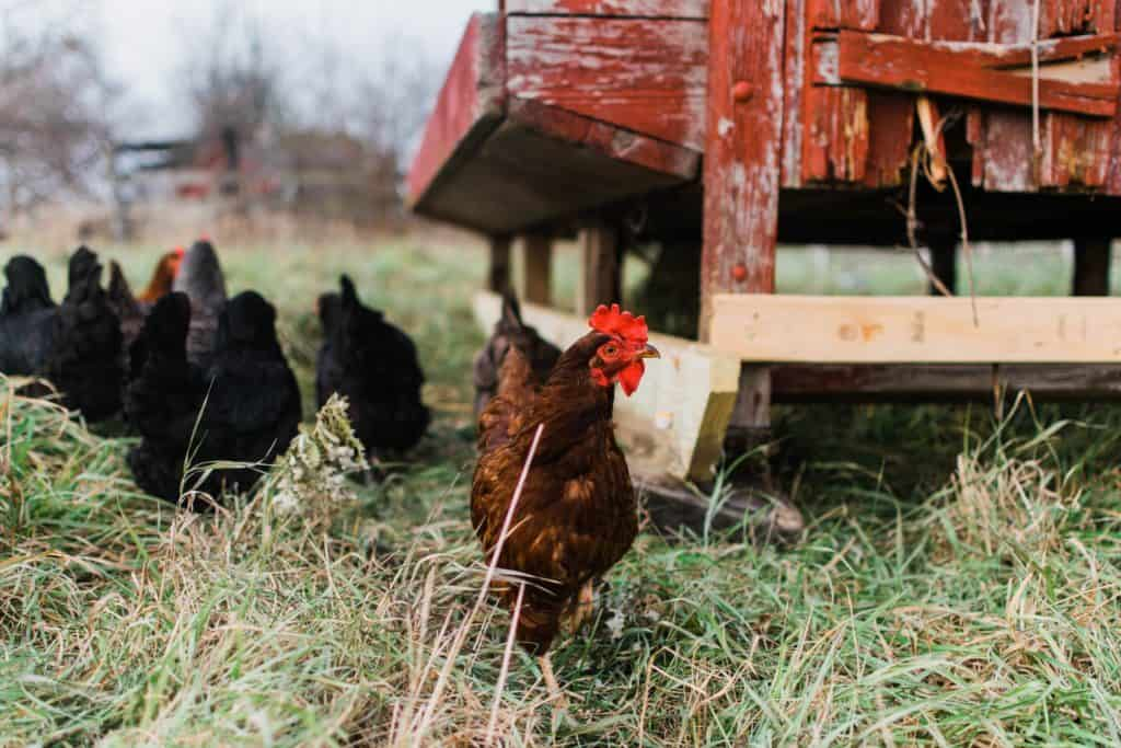 Frenchie Farm Tips for building a chicken coop