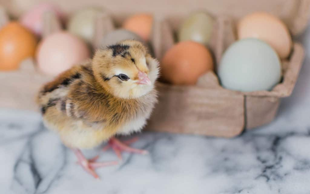 Frenchie Farm preparing for baby chicks checklist