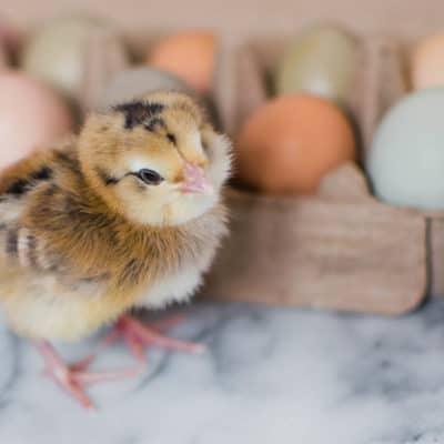 Preparing for baby chicks checklist