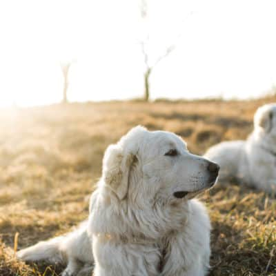 getting a livestock guardian dog LGD training tips: Frenchie Farm