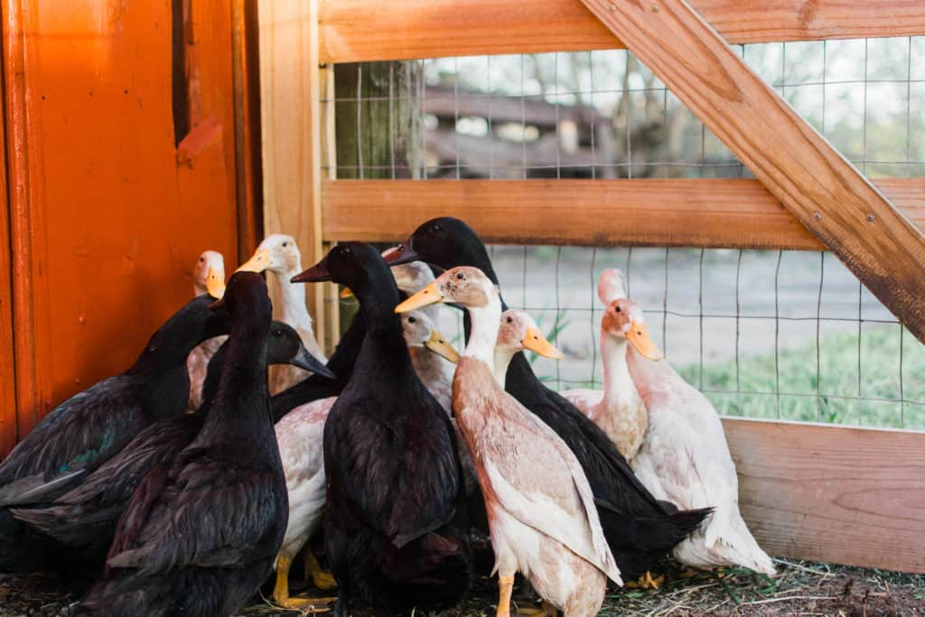 Frenchie Farm raising ducklings: what I wish I knew about raising ducklings