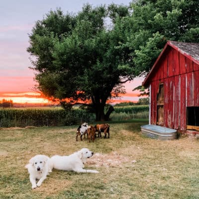 Raising livestock guardian dogs: what you need to know