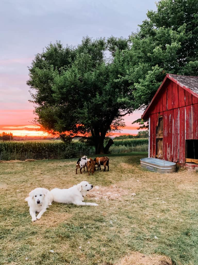 Frenchie Farm raising livestock guardian dogs