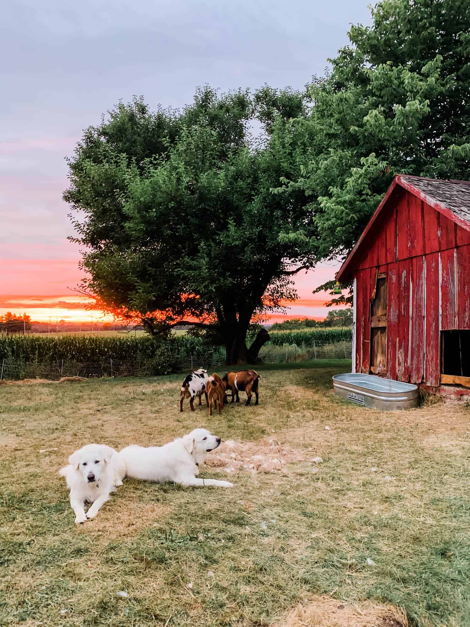 Frenchie Farm raising cattle guard dogs