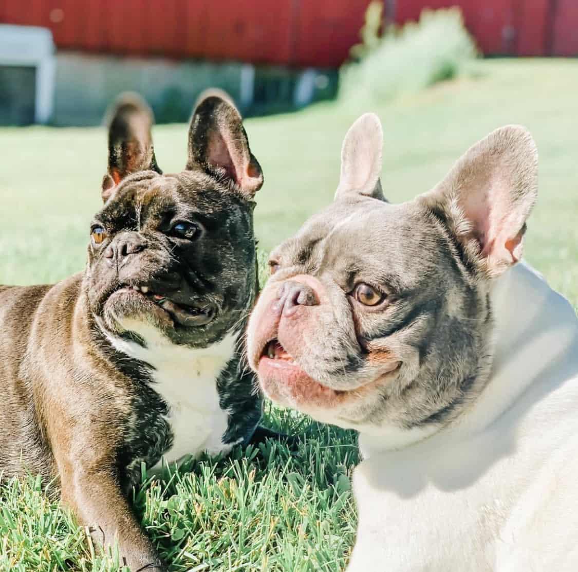 Frenchie Farm blog